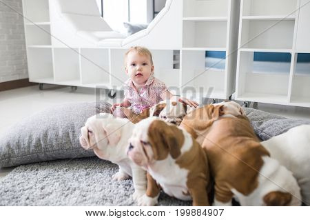 The friendship between a little girl and cute puppies of English bulldog.