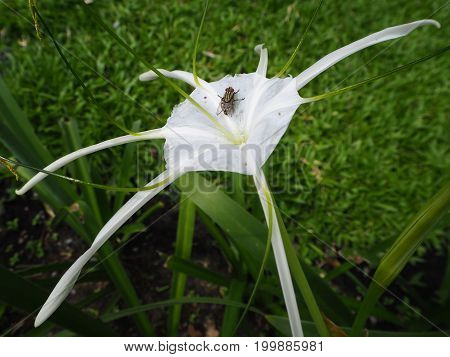 the fly on the spider lily flower.