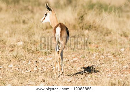 Young Springbuck Lamb Walking In The Field In The Kalahari Region Of The Northern Cape Of South Afri