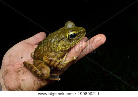 close up image of a Kinabalu Torrent Frog on hand