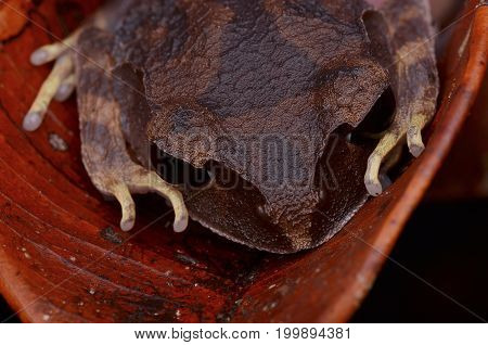 image of a Montane Large-eyed Litter Frog from Borneo forest