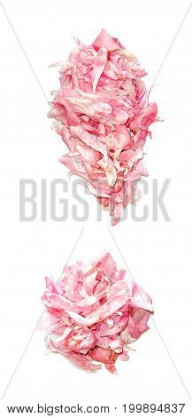 Exclamation Point Of Peony Petals Isolated On White