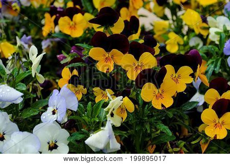 Brunch Of Colorful Pansy Flowers On A Summer Background