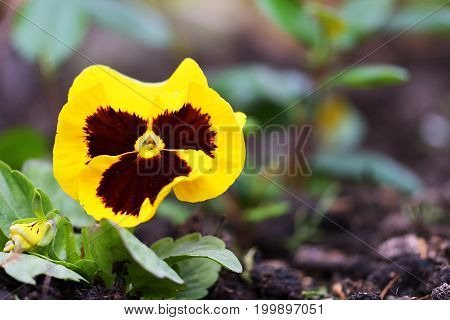 Yellow pansy pansy flowers (Viola tricolor). Close-up.