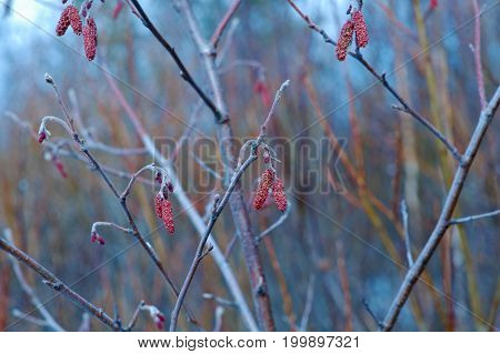 Hanging Catkins Outdoors