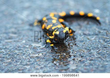 a black yellow spotted fire salamander. Fire Salamander in rain closeup