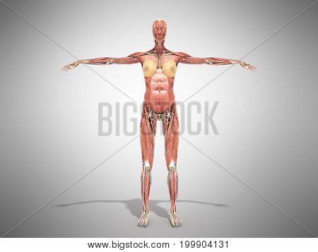 A Female Body Anatomy For Books 3D Render On Grey