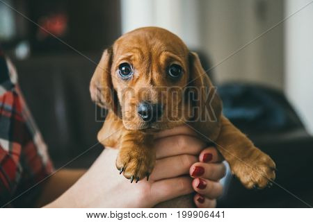 Cute brown dachshund puppy in hands of its owner.