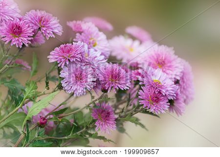 Pink chrysanthemum in autumn garden. Bouquet of flowers.