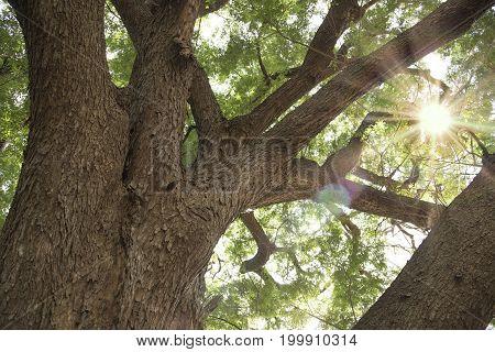 Big tree with sun light in Old big tree branch Kanchanaburi natural park