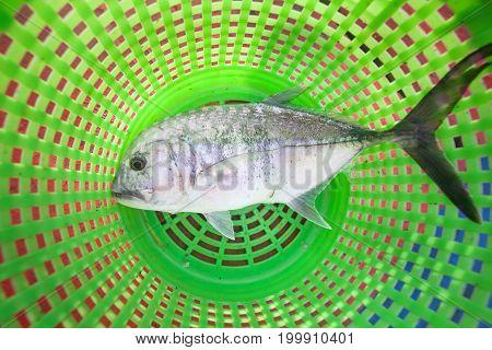 Giant Kingfish On Green Basket On Fishing Boat