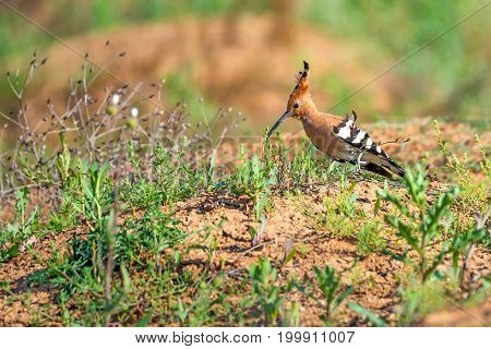 Common hoopoe or Upupa epops is sitting on the ground looking for some insects