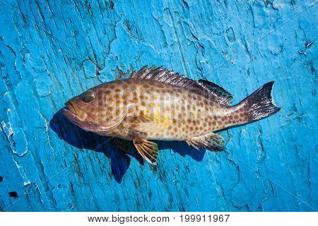 Fresh Grouper On The Blue Wooden Floor