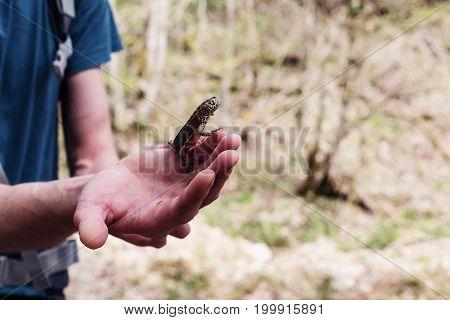 Triturus Cristatus, Caucasian Newt, As Well As Salamandra, Caudate Amphibian.