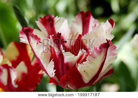 Hybrid tulip close-up