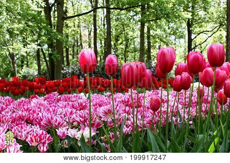 KEUKENHOF HOLLAND - MAY 14 2017: Flower bed of tulips on the background of the trees in the Royal Keukenhof Park