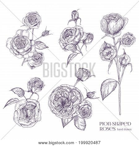 Pion-shaped rose isolated illustration. Plant, flowers, leaves, hand drawn set. Black and white vector illustration collection