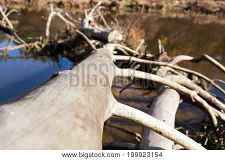 The trunk of a dead tree lies in the water of a swamped river