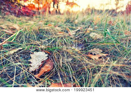 Fallen colorful maple leaves lying on grass in the park