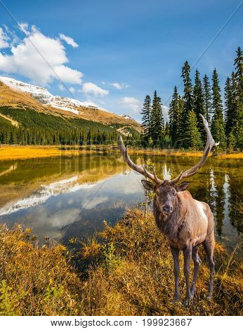 The beautiful nature in the northern Rocky Mountains of Canada. Magnificent red deer with branched antlers grazes in the grass near the water