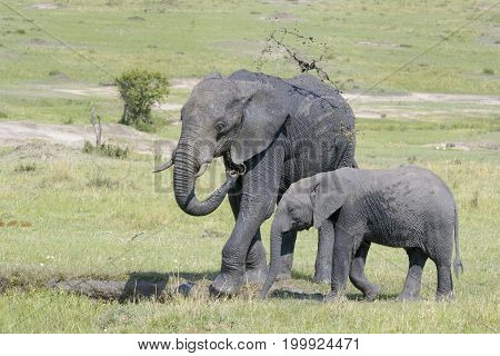 African Elephant (Loxodonta africana) standing together and throwing mud in the air at a waterhole Serengeti national park Tanzania.