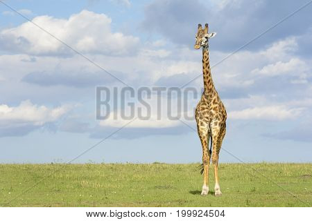 Giraffe (Giraffa camelopardalis) crossing savanna grasslands with cloudy sky in background Serengeti National Park Tanzania.