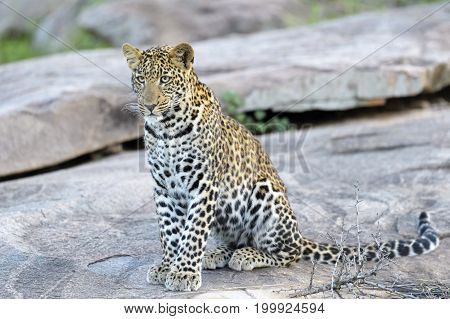 Leopard (Panthera pardus) sitting on a rock Serengeti national park Tanzania.