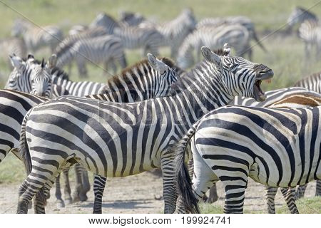 Plain's zebra (Equus quagga) flehming in the herd between other zebra's Serengeti national park Tanzania.