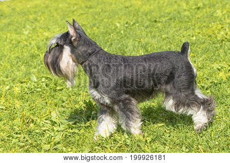 Miniature schnauzer sitting on stump. Space under the text. 2018 year of the dog in the eastern calendar. Concept: parodist dogs, dog friend of man, true friends, rescuers.