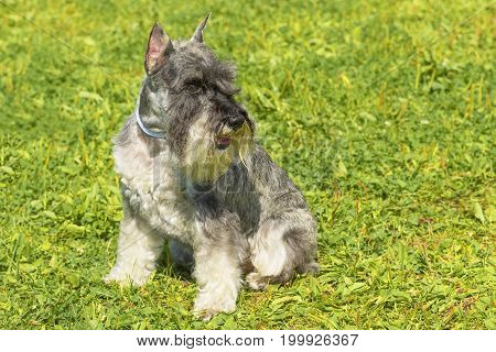 Miniature schnauzer sitting on green grass. Space under the text. 2018 year of the dog in the eastern calendar. Concept: parodist dogs, dog friend of man, true friends, rescuers.