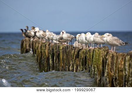 Herring Gulls on the sea in the wild