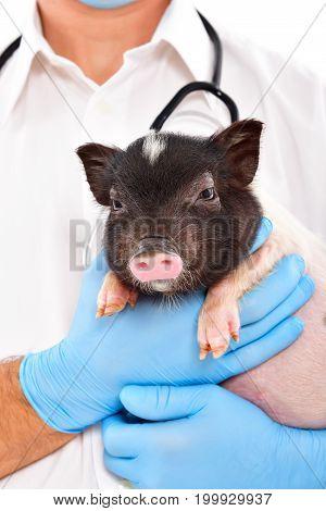 Cute little Vietnamese pig on hands at the vet