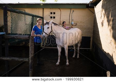 Young women cleaning white horse at barn