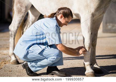 Side view of female vet bandaging horse leg at barn
