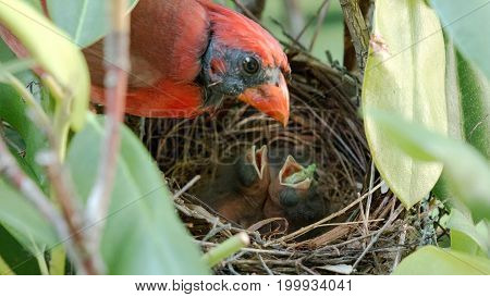 A newborn cardinal bird has a green worm sticking out of its mouth after as its father watches over him in the birds nest.