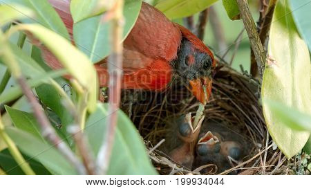 A very red colored male cardinal bird is feeding his two day old chicks a green worm in their birds nest.