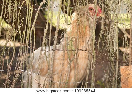 Close Up Of Chicken Standing On Barn Yard With The Chicken Coop. Free Range Poultry Farming