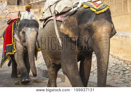 Jaipur, India - January 28, 2017: Unidentified Men Ride Decorated Elephants In Jaleb Chowk In Amber