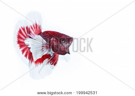 Capture the moving moment of red white siamese fighting fish on white background. Dumbo betta fish