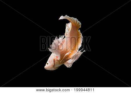 Capture the moving moment of yellow siamese fighting fish on black background. Dumbo betta fish
