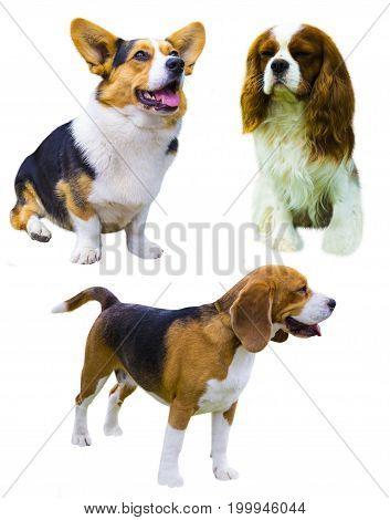 Corgi dog on white background. Cavalier King Charles Spaniel. beagle dog isolated on white background