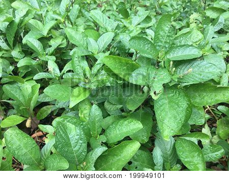 Wild cocaine Erythroxylum cuneatum plant green leaves