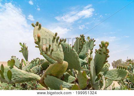 Thicket of cactus Tzabar Opuntia ficus-indica in Negev desert, Israel. poster