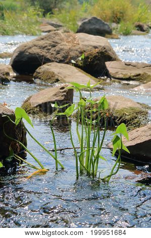 The picture was taken in Ukraine on the Yuzhny Bug river. In the foreground a plant called a Arrowhead. In the background stones are seen lying in the water of the river.