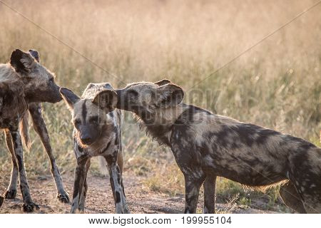 Two African Wild Dogs Bonding In The Grass.