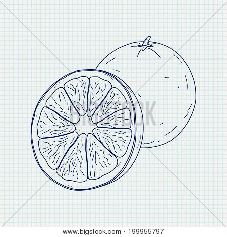 Orange. Sketch. Vector illustration on notebook sheet background