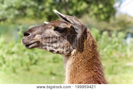 Beautiful Isolated Image Of A Llama Standing Awake
