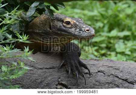 Komodo dragon with very long claws on a log.