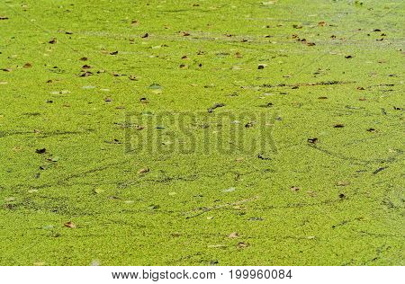 Green duckweed on a lake in the summer in village
