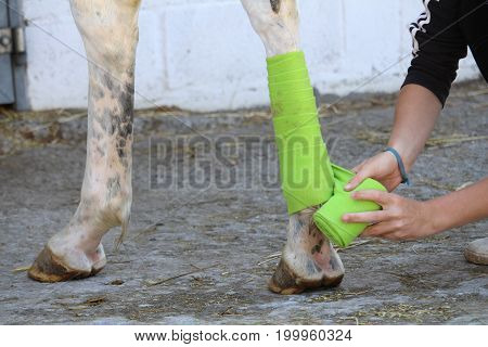Preparation and placement of a green bandage on the posterior leg of a white horse